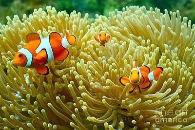 Clown Fish Photograph - Clownfish Hideout by Harmony Hancock