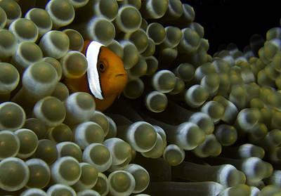 Clarks Anemonefish Photograph - Clownfish In Anemone by Gary Hughes