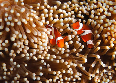 Clown Fish Photograph - Clownfish In Coral  by Fototrav Print