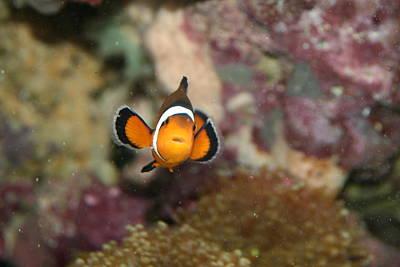 Clown Fish Photograph - Clownfish Portrait by Neal Eslinger