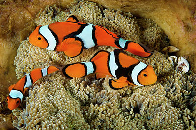 Clownfish Rest Inside Their Host Art Print by David Doubilet