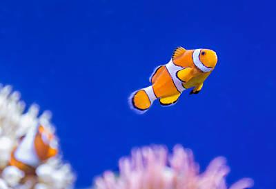 Clown Fish Photograph - Clownfish by Steve Harrington