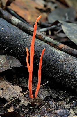 Agaricales Photograph - Club Fungus by Fletcher & Baylis