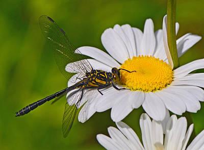Clubtail Dragonfly On Oxeye Daisy Art Print