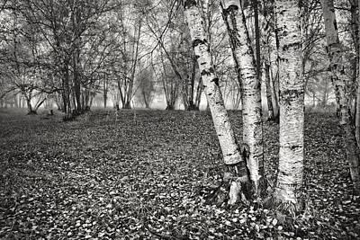 Clumping Birch Trees And Fog Art Print by Theresa Tahara