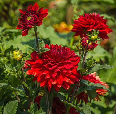 Cluster Of Dahlias Art Print by Jane Luxton