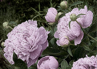 Photograph - Cluster Of Double Pink Peony's by Wanda Krack