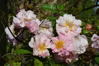 Photograph - Cluster Of Pale Pink English Cottage Roses  by Carla Parris