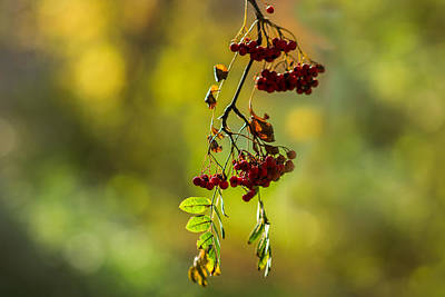 Rowan Tree Photograph - Cluster Of Rowan Berries - Featured 2 by Alexander Senin