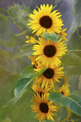 Cluster Of Sunflowers Art Print by David Simons