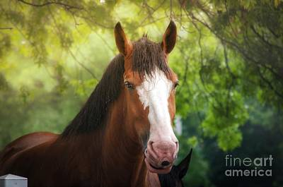 Photograph - Clydesdale Beauty   by Peggy Franz