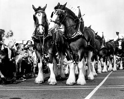 Clydesdale Photograph - Clydesdale Horses Vintage by Retro Images Archive