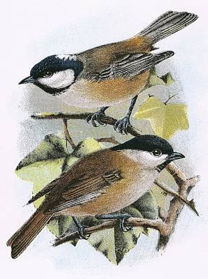Tits Drawing - Coal Tit And Marsh Tit by English School