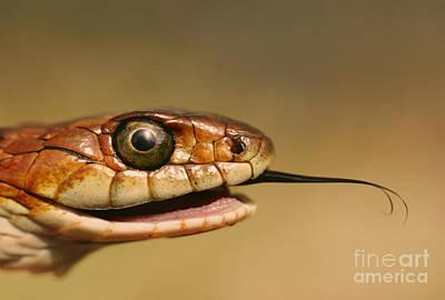 Garter Snake Photograph - Coast Garter Snake by Frans Lanting MINT Images