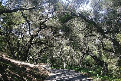 Coast Live Oaks Art Print