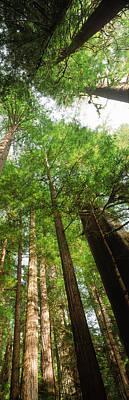 Coast Redwood Sequoia Sempivirens Trees Art Print