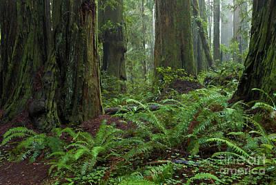 Coast Redwoods And Ferns In Redwood Art Print by Yva Momatiuk and John Eastcott
