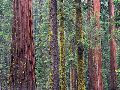 Photograph - Coast Redwoods In Mariposa Grove by Tim Fitzharris