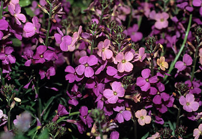 Coast Wallflower 'sweet Sorbet' Flowers Art Print