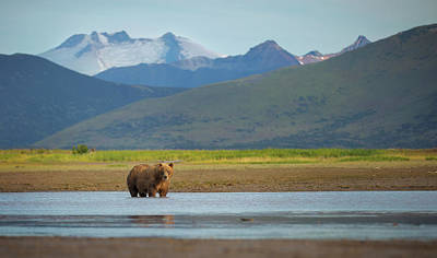 Coastal Brown Bear Art Print by Chase Dekker Wild-life Images