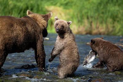 Coastal Brown Bear Family Art Print by Justinreznick