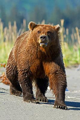 Photograph - Coastal Brown Bear by Shari Sommerfeld