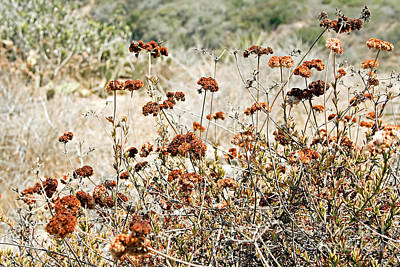 Photograph - Coastal Buckwheat by Gabriele Pomykaj