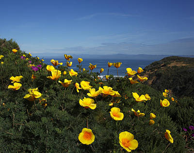 Coastal California Poppies Art Print