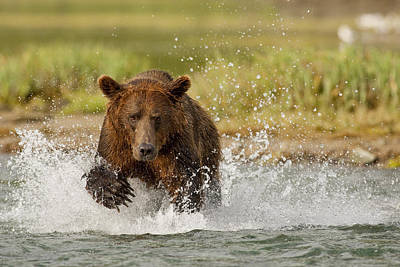 Coastal Grizzly Boar Fishing At Print by Kent Fredriksson