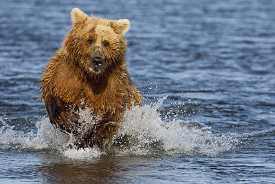 Grizzly Photograph - Coastal Grizzly Fishing In Hallo Bay by Kent Fredriksson