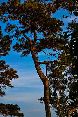 Photograph - Coastal Pine by Bonnie Leigh Delar