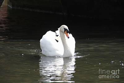 Animal Portraits - Cob Mute Swan by Sean Foreman