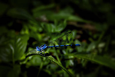 Photograph - Cobalt Blue Damselfly by Belinda Greb