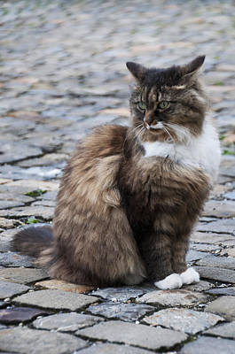 Of Calico Cats Photograph - Cobblestone Cat by Sharon Sefton