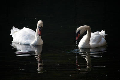 Photograph - Cobh Mute Swans by David Beebe