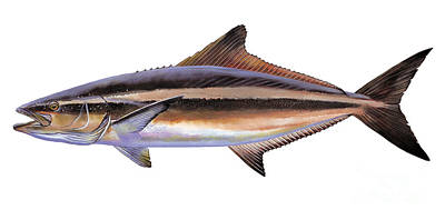 Bonefish Painting - Cobia by Carey Chen