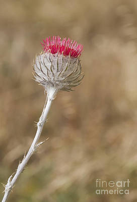 Photograph - Cobweb Thistle by Dan Suzio