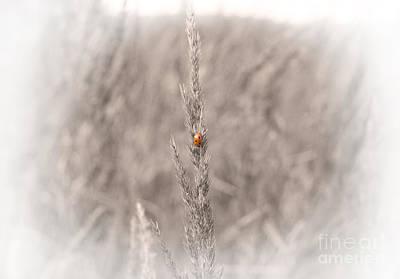 Coccinella In The Morning Mist Original