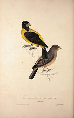 Asian Artist Drawing - Coccothraustes Icterioides, Black And Yellow Hawfinch by Quint Lox