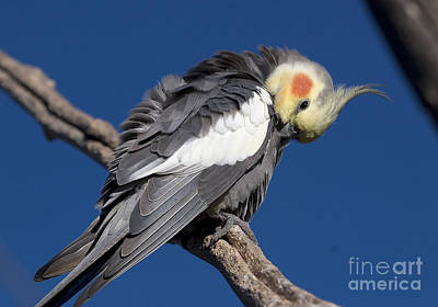 Photograph - Cockatiel - Canberra - Australia by Steven Ralser