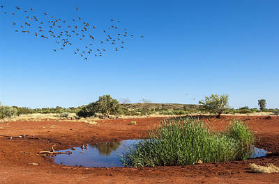Cockatiel Photograph - Cockatiels Flying To Desert Waterhole by D. Parer & E. Parer-Cook