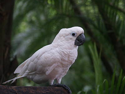 Cockatoo Photograph - Cockatoo by Athala Carole Bruckner