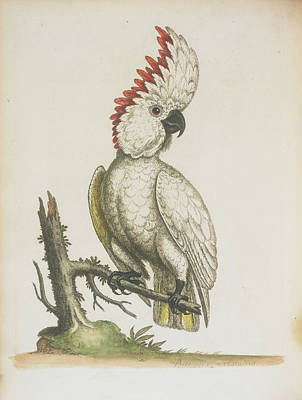 Cockatoo Photograph - Cockatoo by British Library