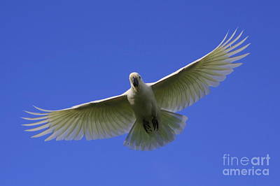 Photograph - Cockatoo by Craig Dingle