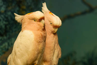 Photograph - Cockatoo I Love You by Harry Strharsky
