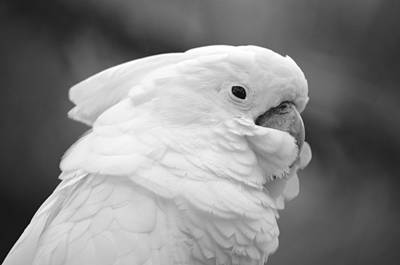 Photograph - Cockatoo In Black And White by Richard Bryce and Family