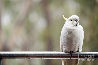 Animals Photos - Cockatoo In Rain by THP Creative