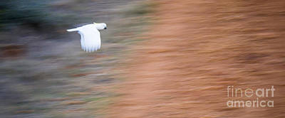 Cockatoo Photograph - Cockatoo by Steven Ralser