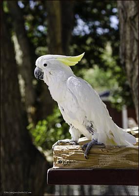 Cockatoo Photograph - Cockatoo White Parrot by LeeAnn McLaneGoetz McLaneGoetzStudioLLCcom