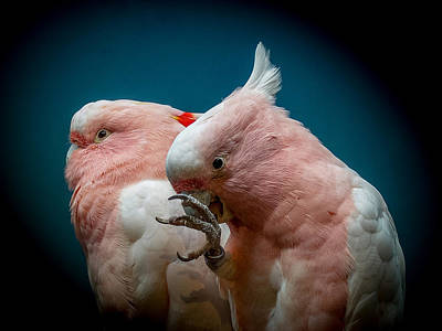 Cockatoo Photograph - Cockatoos by Ernie Echols